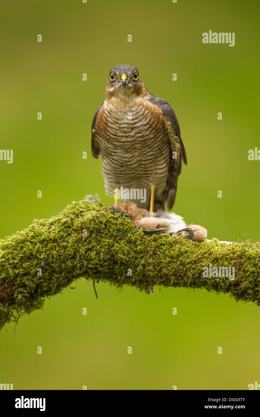 Eurasian Sparrowhawk (Accipiter nisus) adult male with Chaffinch (Fringilla coelebs) prey perched on mossy branch Scottish - Stock Image