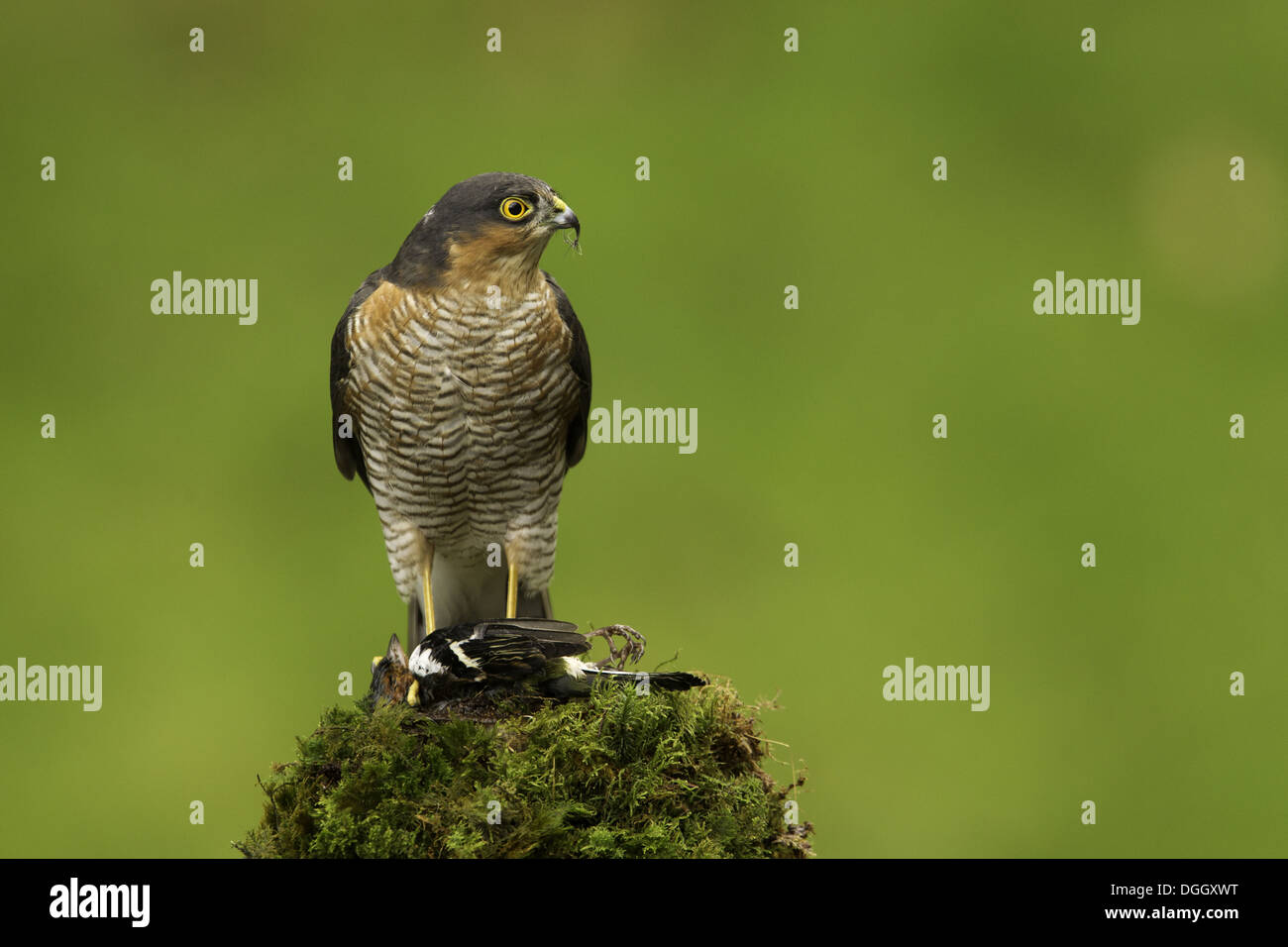 Eurasian Sparrowhawk (Accipiter nisus) adult male, with Chaffinch (Fringilla coelebs) prey, Scottish Borders, Scotland, October - Stock Image