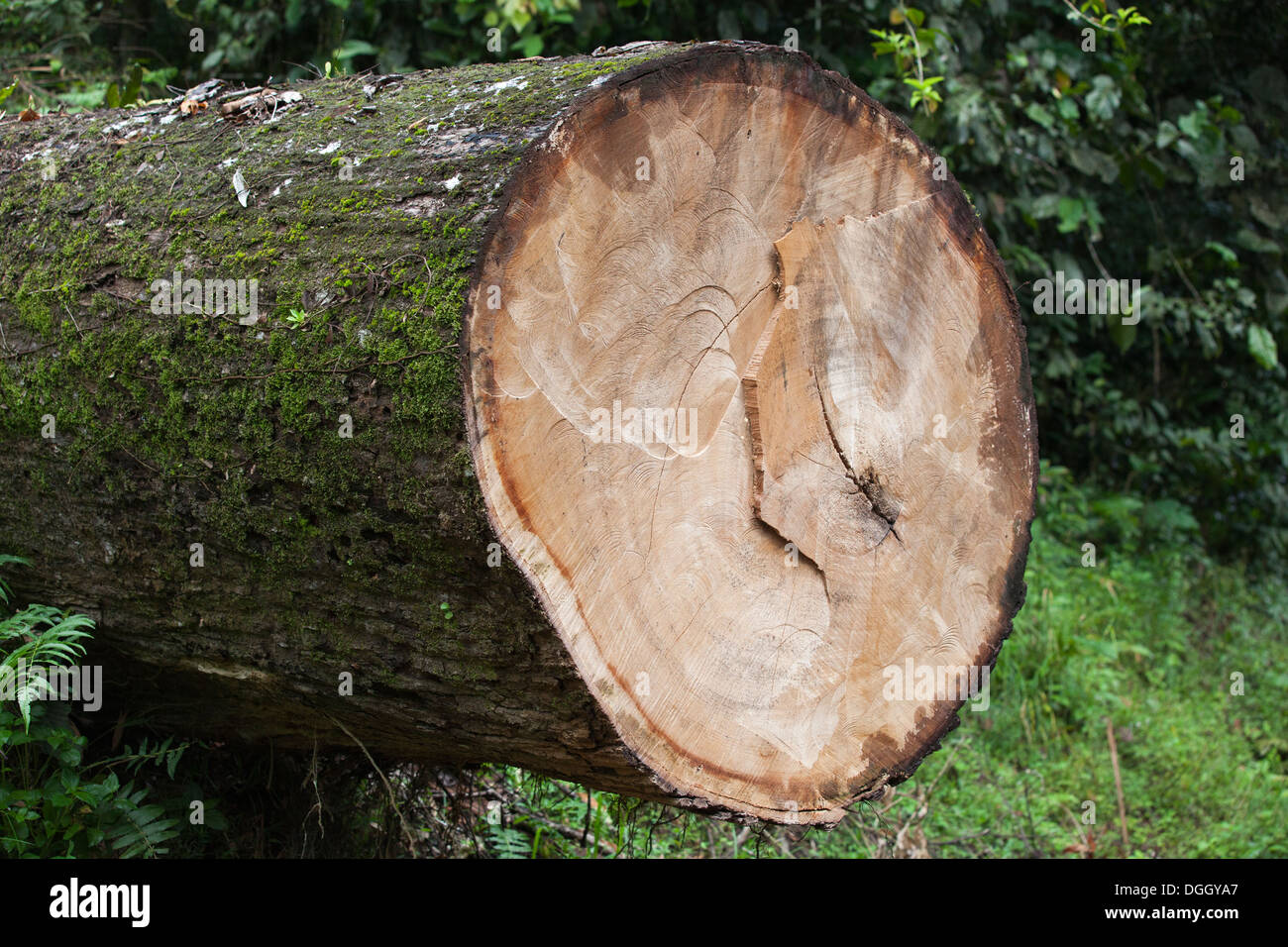 Trunk of cut tree in lowland tropical rainforest - Stock Image