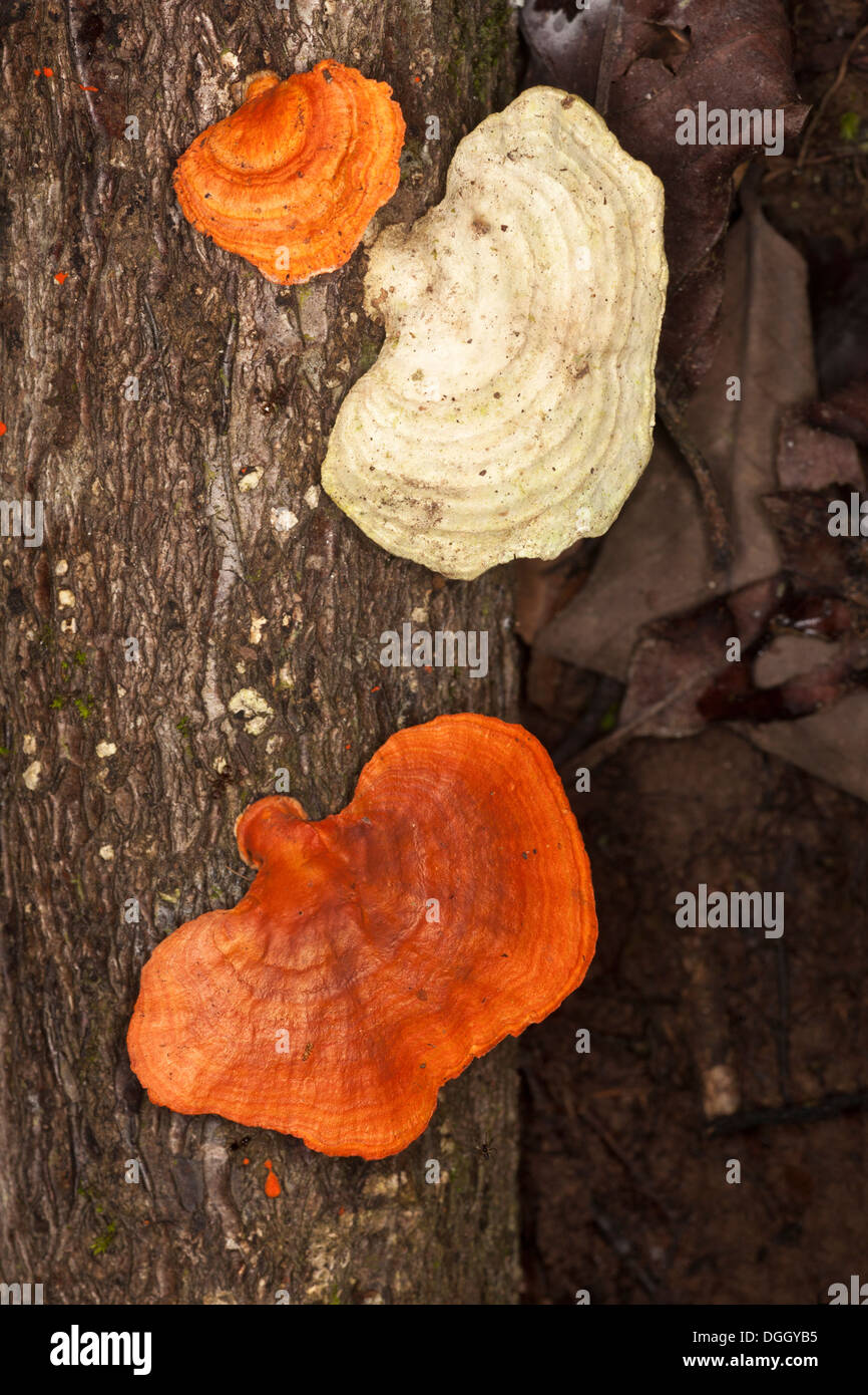 Bracket fungus growing on tree trunk in undisturbed lowland tropical rainforest - Stock Image
