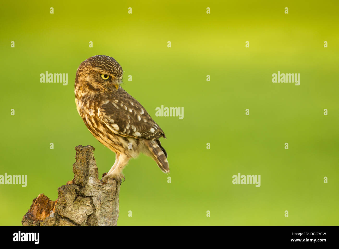 Little Owl (Athene noctua) adult, with head turned, perched on stump, Sussex, England, May - Stock Image