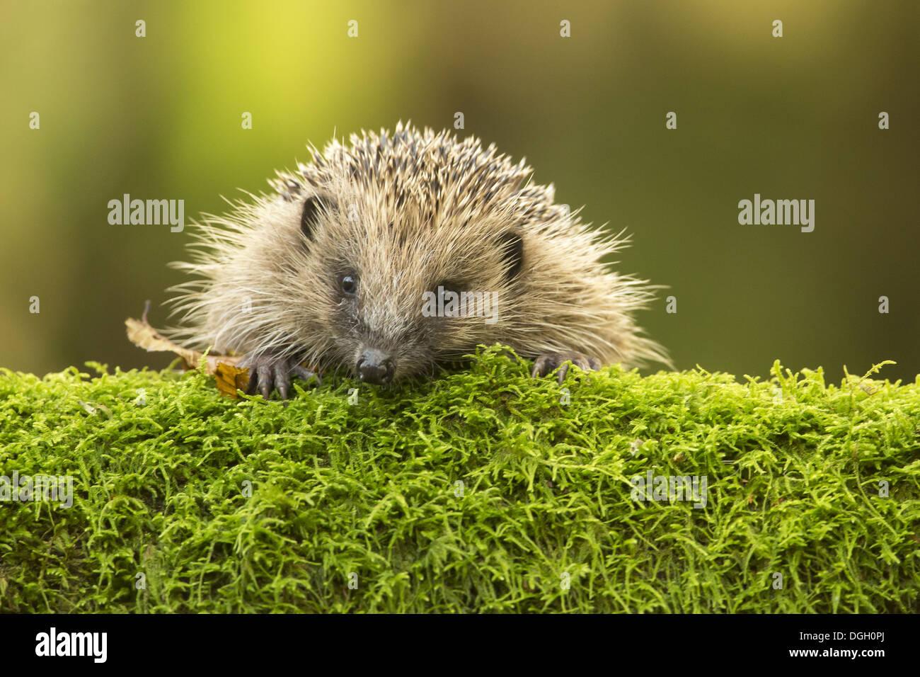 European Hedgehog (Erinaceus europaeus) adult, looking over moss, Sussex, England, November Stock Photo