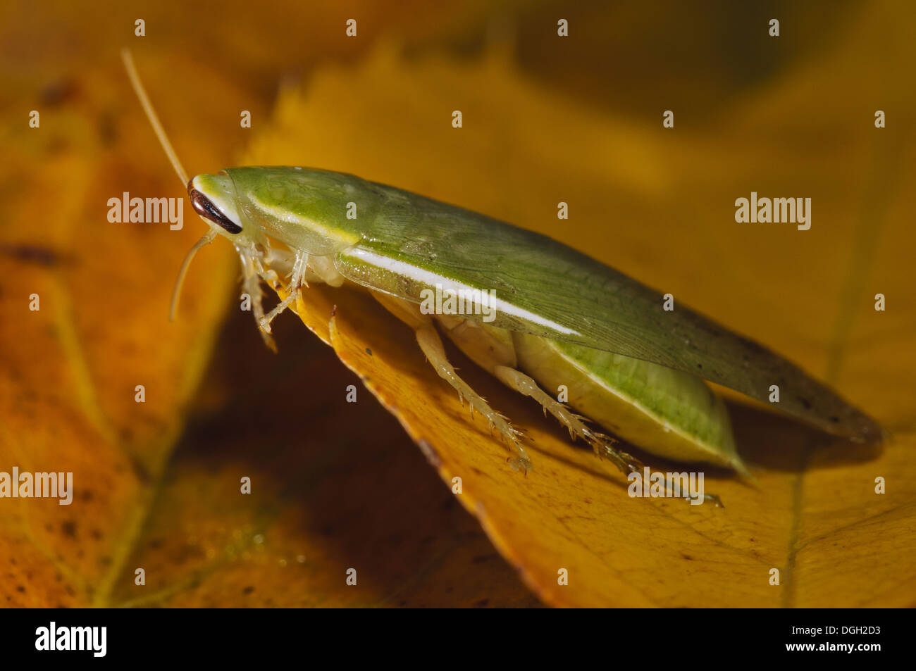 Green Banana Cockroach (Panchlora nivea) introduced species stowaway within shipment of produce most likely bananas adult - Stock Image