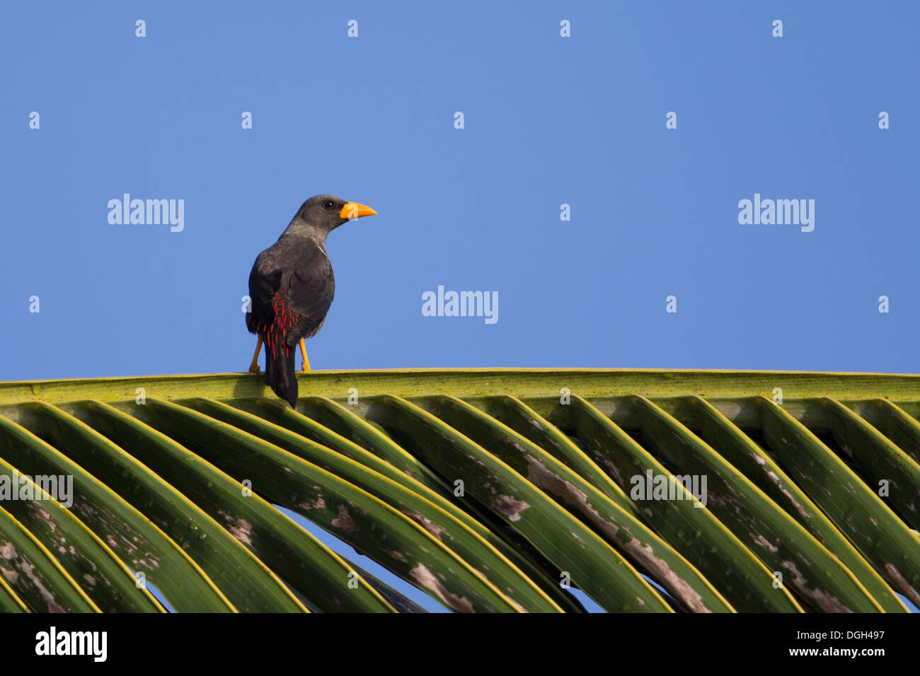 Finch-billed Myna (Scissirostrum dubium) on a palm frond at the Kungkungan Bay Resort in North Sulawesi, Indonesia. - Stock Image