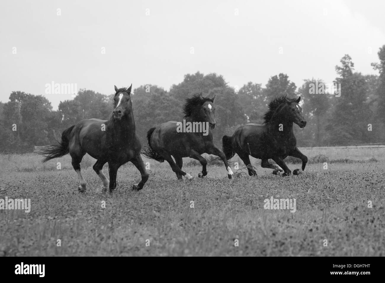 Stallion Franches Montagnes Freiberger horse Swiss - Stock Image