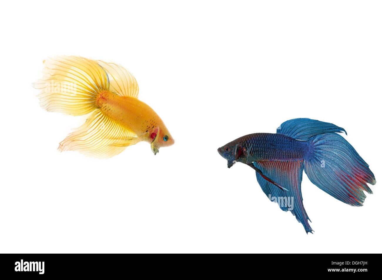 Betta Fish Stock Photos & Betta Fish Stock Images - Alamy