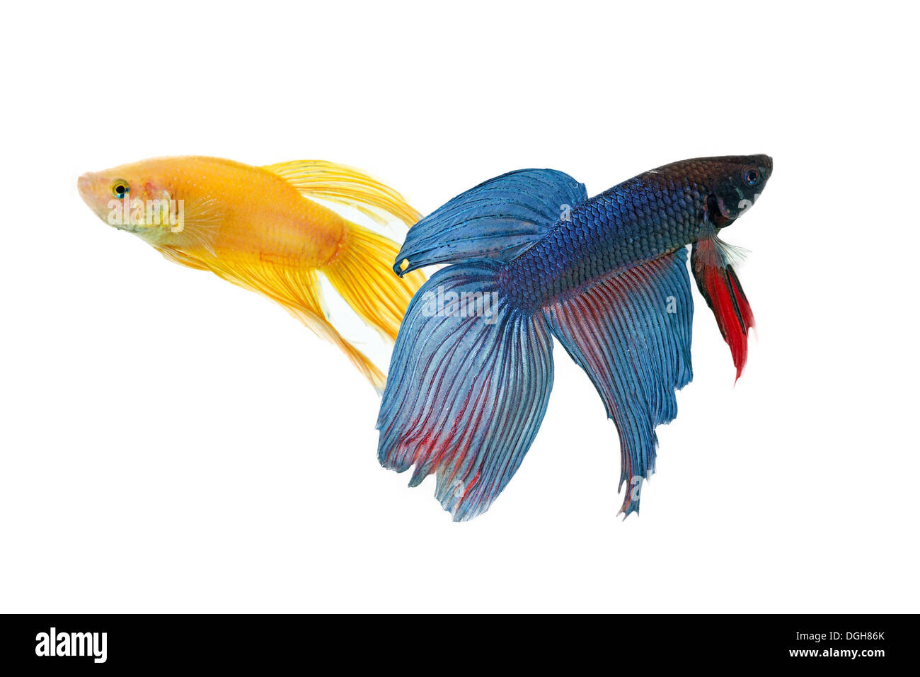 betta fish couple tank with isolated white background Stock Photo