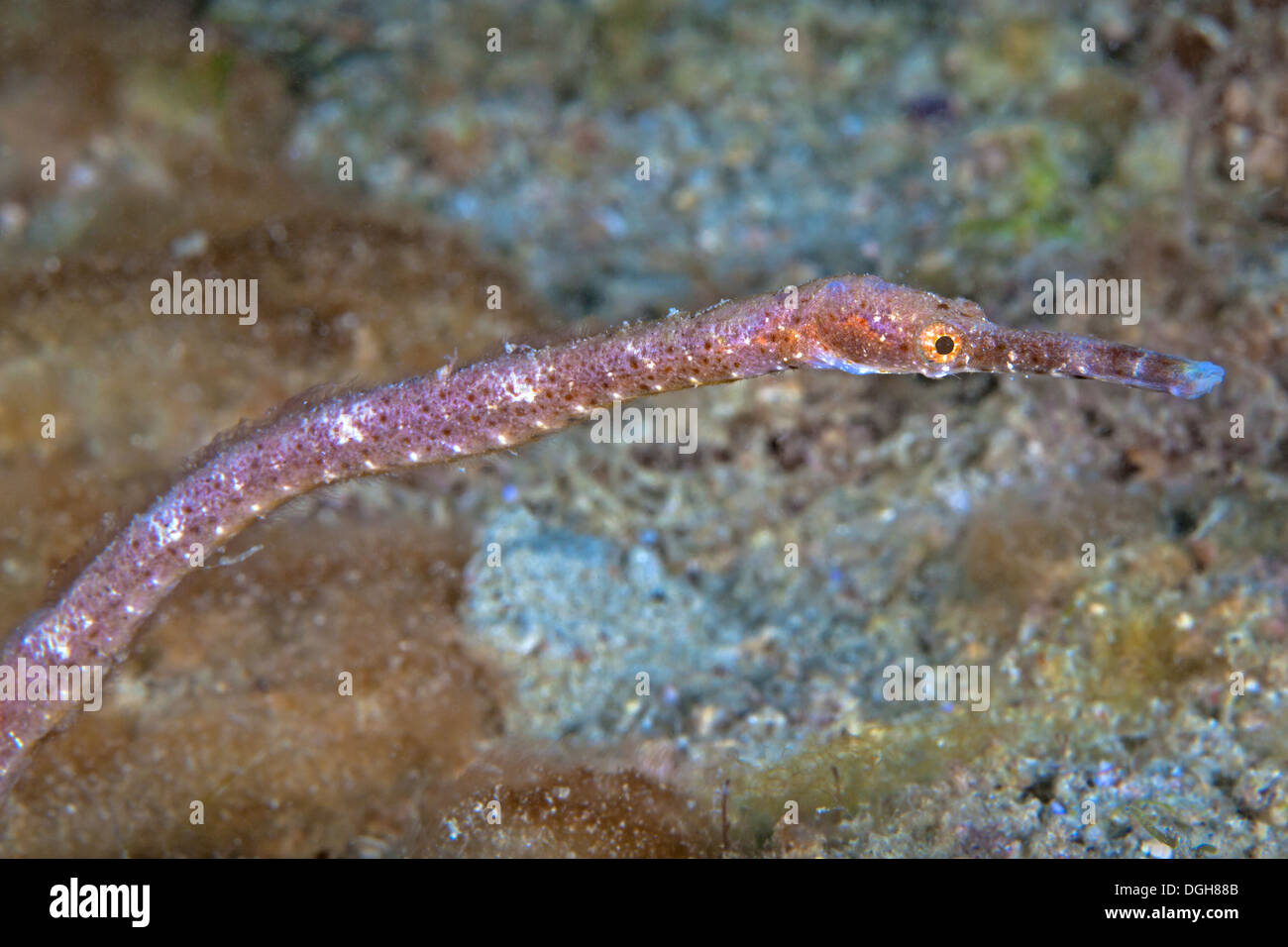 Double-ended pipefish (Trachyrhamphus bicoarctatus) macro photo close up image. Puerto Galera, Philippines. - Stock Image