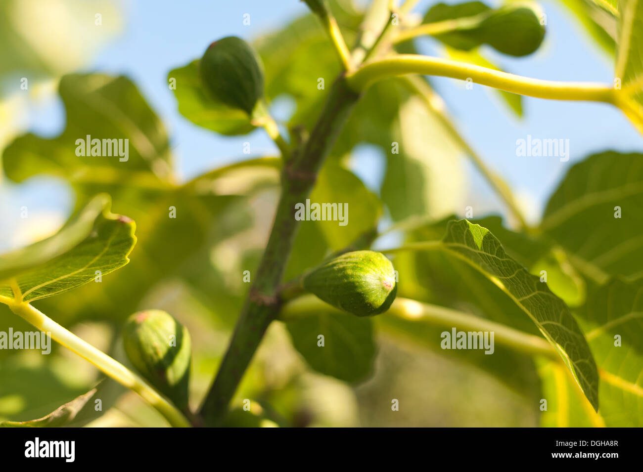 Sunshine and light passing captured through large green fig leaf contrast against blue sky with ripe and maturing fruit figs - Stock Image