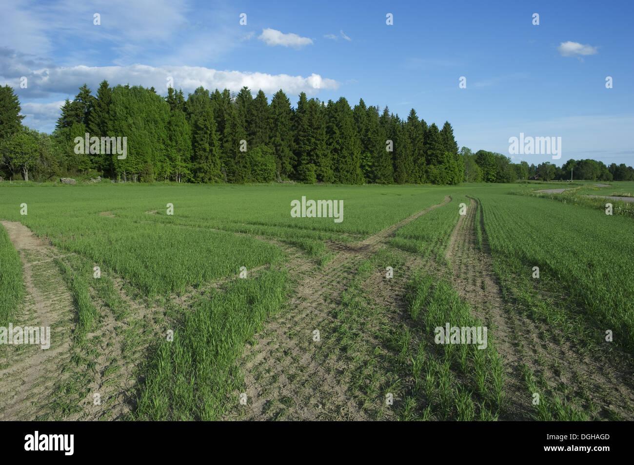 Tramlines in arable field with seedling crop, Sweden, june Stock Photo