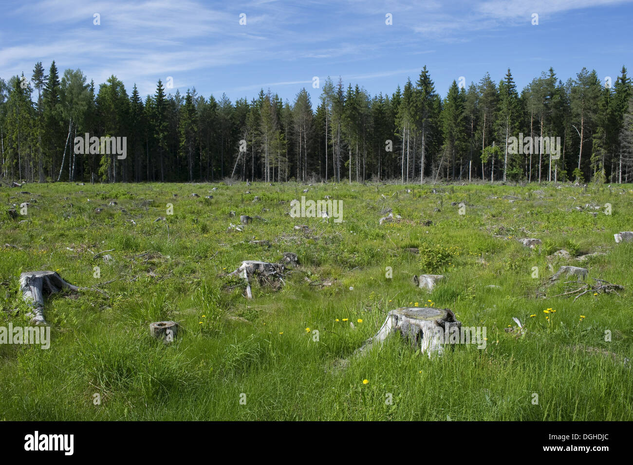 Clear-cut coniferous forest, with grass and wildflowers growing amongst stumps, Sweden, june - Stock Image