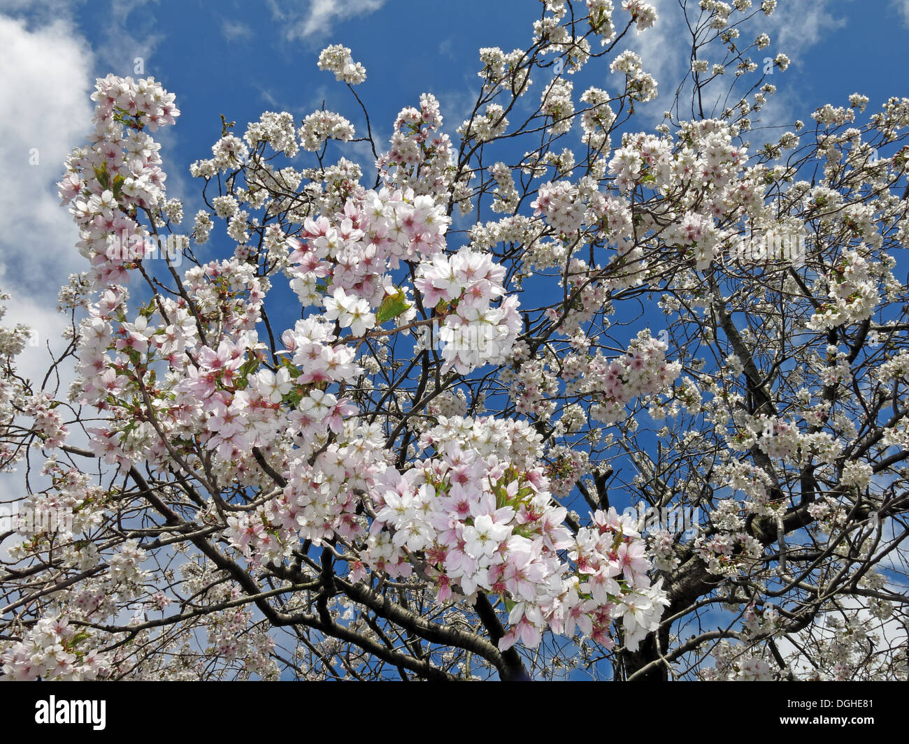 Signs of spring New creme white apple / cherry Blossom flowers against a deep blue sky England Stock Photo