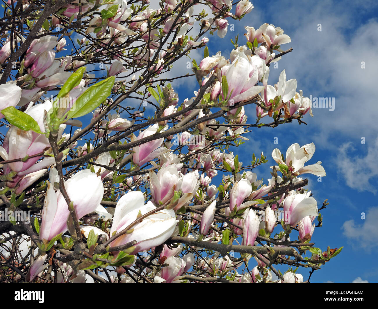 Magnolia shrub flowers cream in Spring season Europe - Stock Image