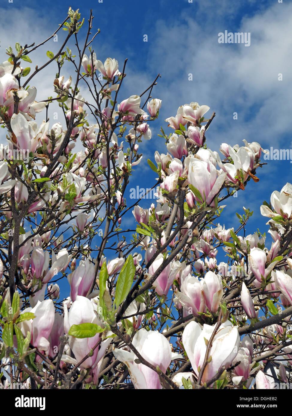 Magnolia shrub flowers cream in Spring season Europe - Stock Image