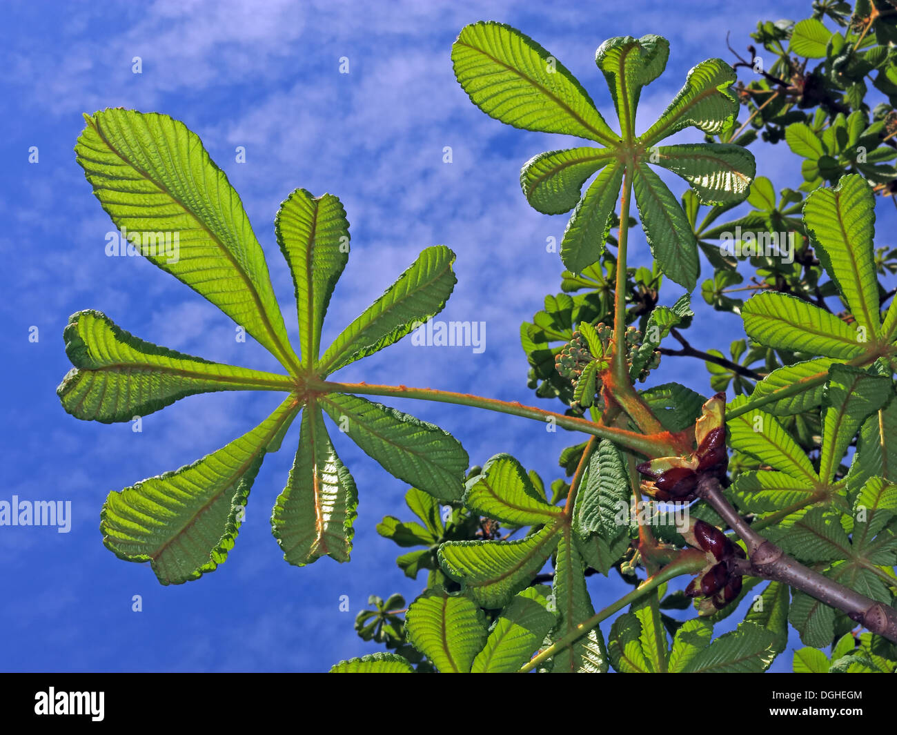 New horse chestnut leaf growth against a blue spring sky, Cheshire, England, UK - Stock Image