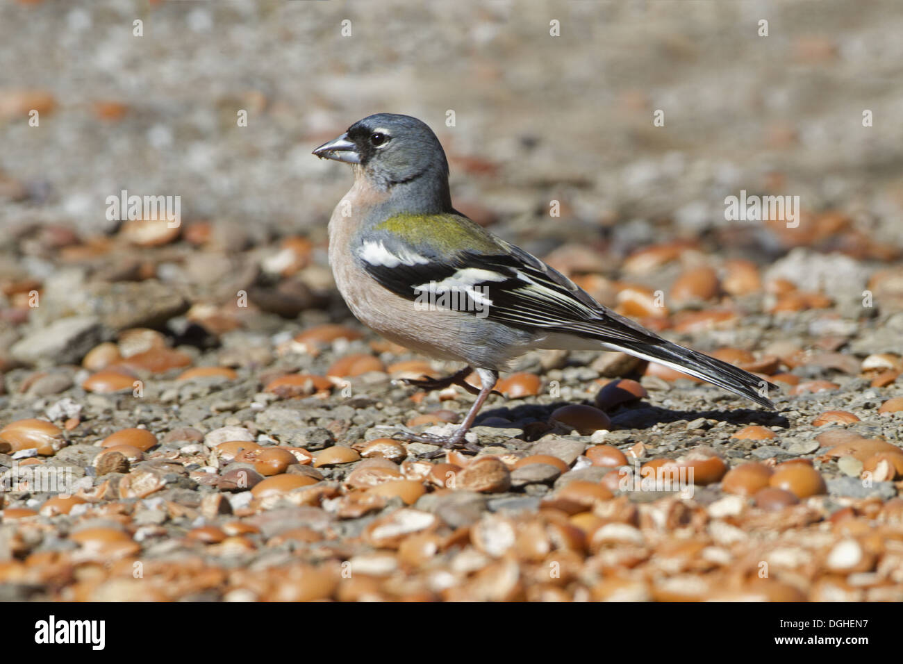 Common Chaffinch (Fringilla coelebs africana) North African subspecies, adult male, feeding on ground, Morocco, March - Stock Image