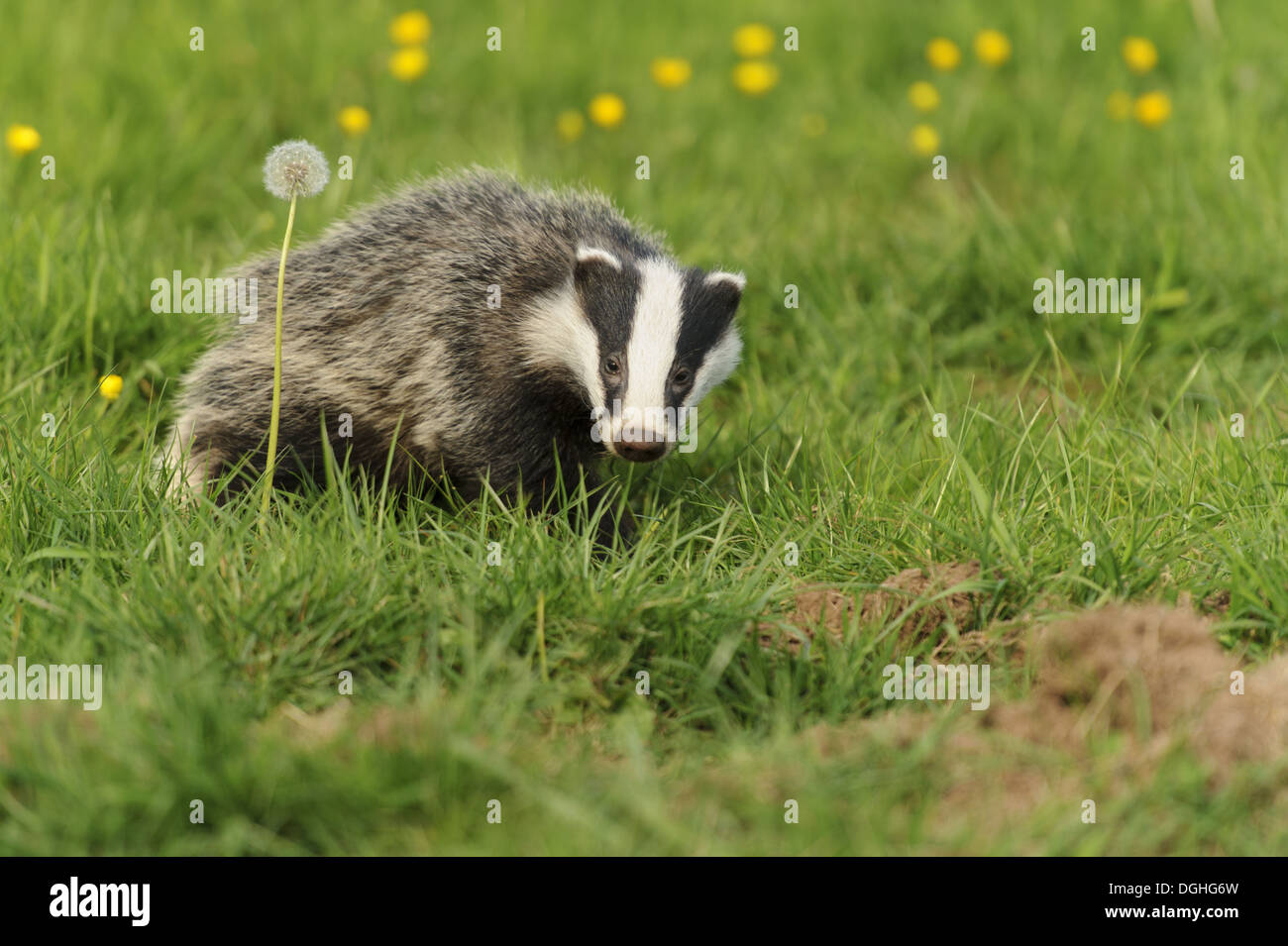 Eurasian Badger (Meles meles) cub, standing beside dandelion seedhead in meadow, Jackson's Coppice, Staffordshire, England, May - Stock Image