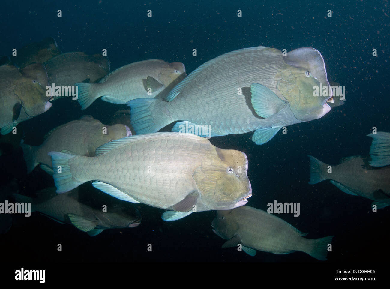 Bumphead Parrotfish (Bolbometopon muricatum) adults shoal
