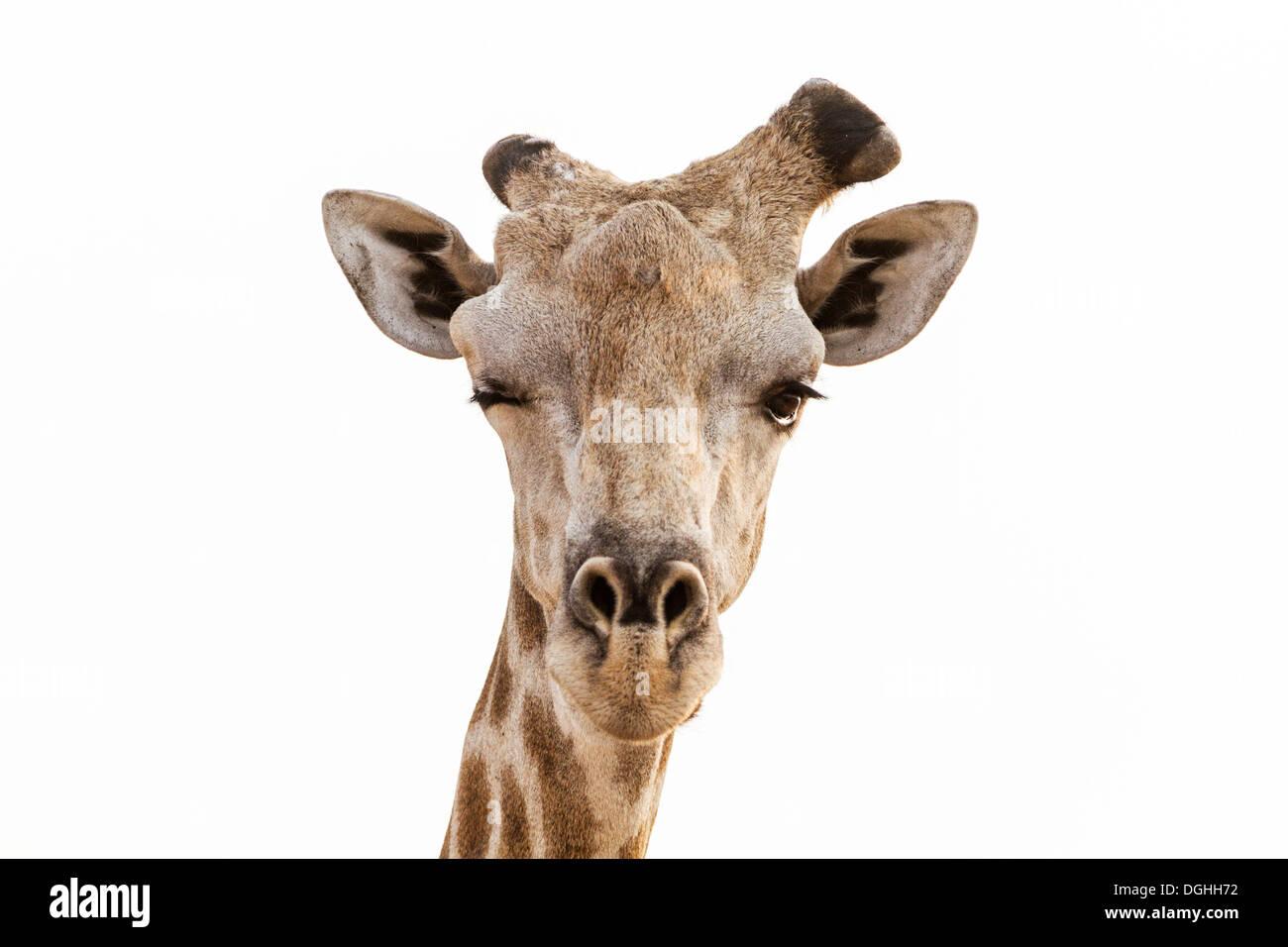 Close-up of adult male Giraffe winking, Chobe National Park, Botswana - Stock Image
