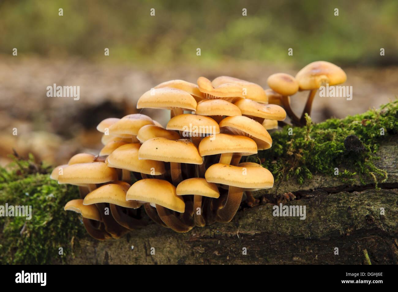Velvet Shank Fungus (Flammulina velutipes) fruiting bodies growing on moss covered log Titchwell RSPB Reserve Norfolk England - Stock Image