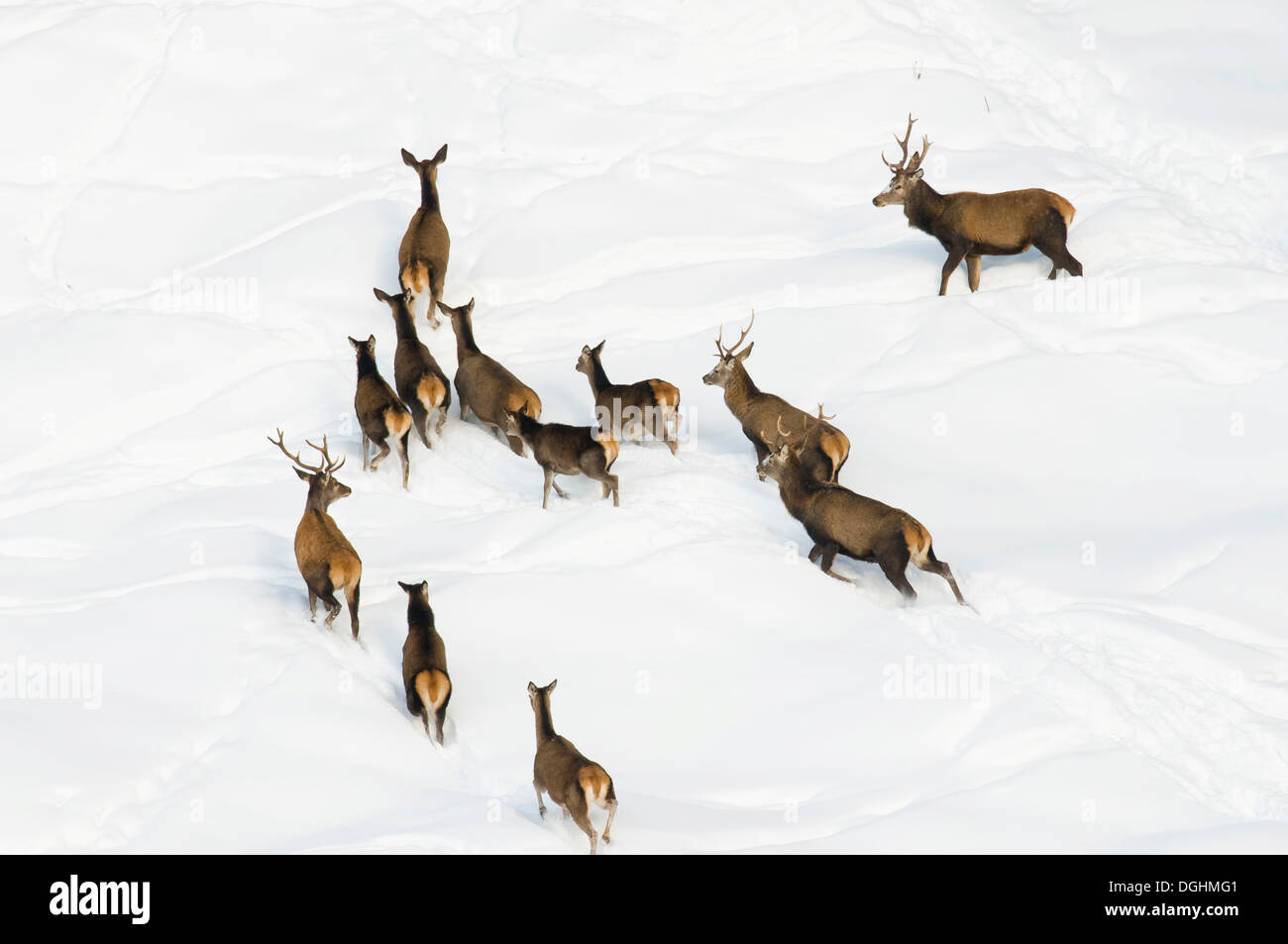 Red deer (Cervus elaphus) on a snow-covered steep slope, High Alpine Nature Park of the Zillertal Alps, Tyrol, Austria, Stock Photo