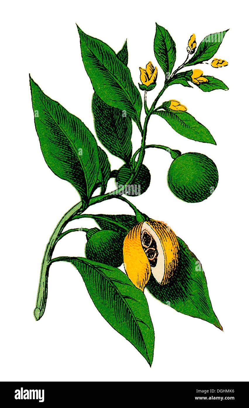 Nutmeg, historical illustration, Moritz Willkomm, Natural History of the Plant World, 4th Edition, Esslingen and Munich, 1887 - Stock Image