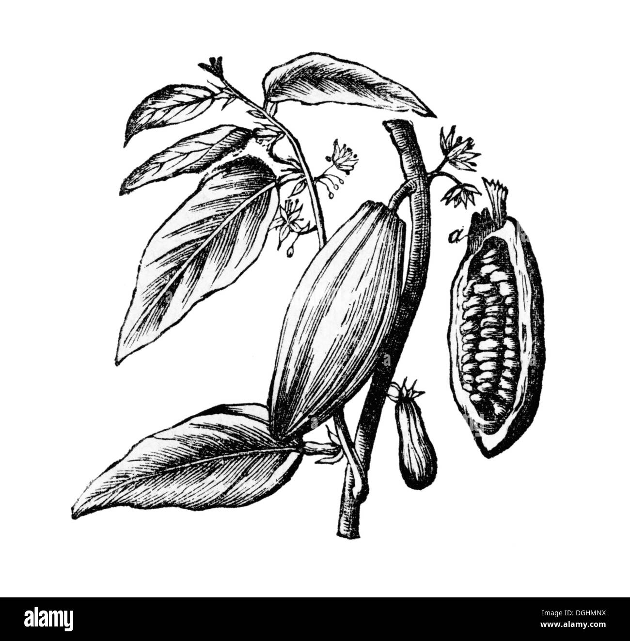 Cocoa Tree Illustration High Resolution Stock Photography And Images Alamy