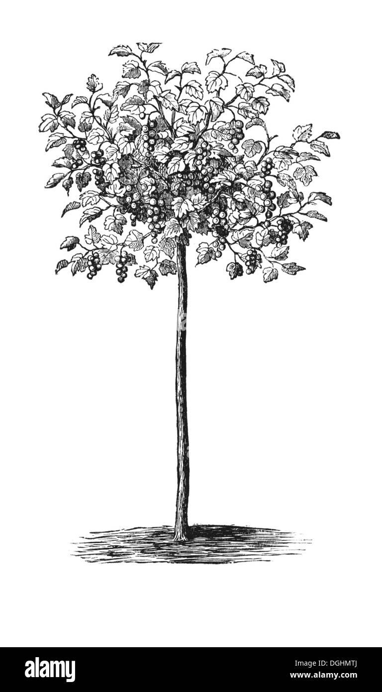 Tall Currant, historical illustration, Theodor Lange, General Illustrated Garden Book, Volume 2, Leipzig 1902, p. - Stock Image