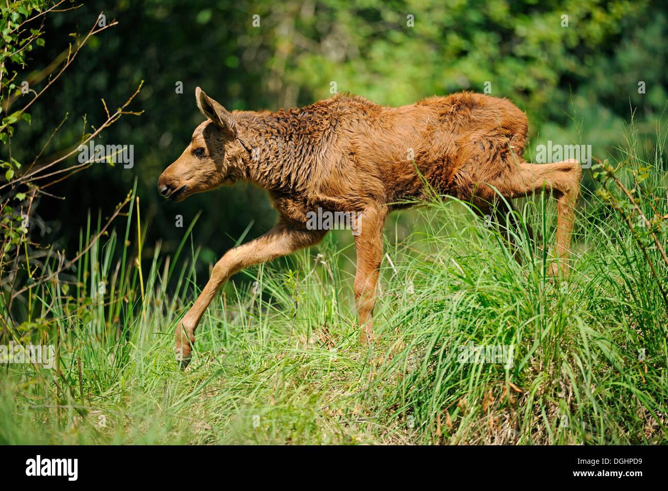 Eurasian elk - photo#40