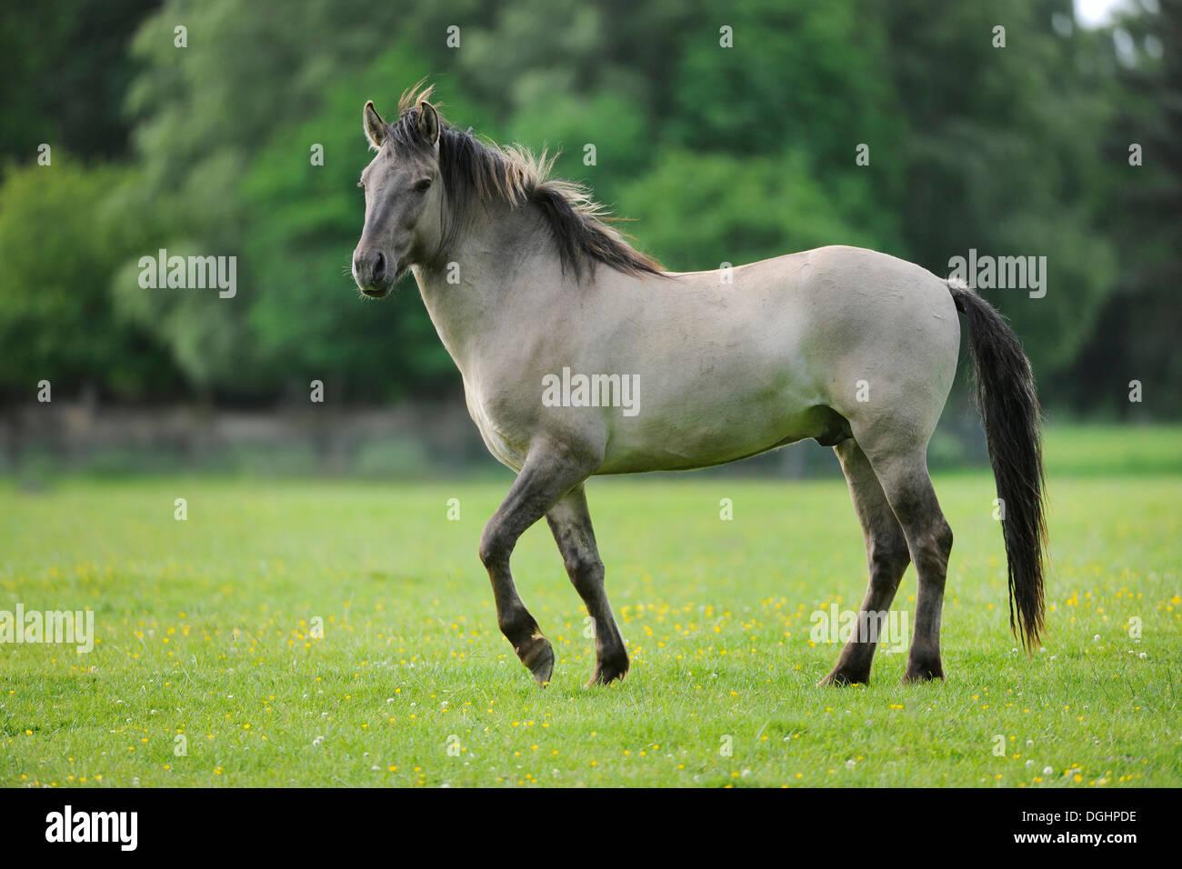 Tarpan (Equus ferus gmelini, Equus gmelini), selective breeding, breeding back, municipal game reserve, Hesse, Germany - Stock Image