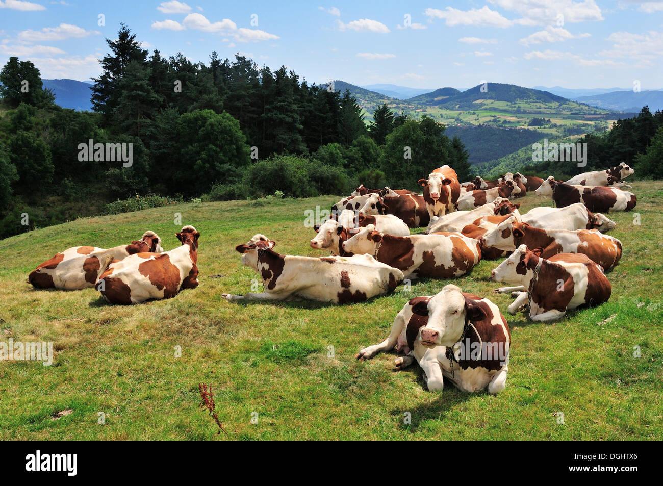 Resting cows on a pasture, near Vorey, Haute-Loire department, Auvergne, France - Stock Image