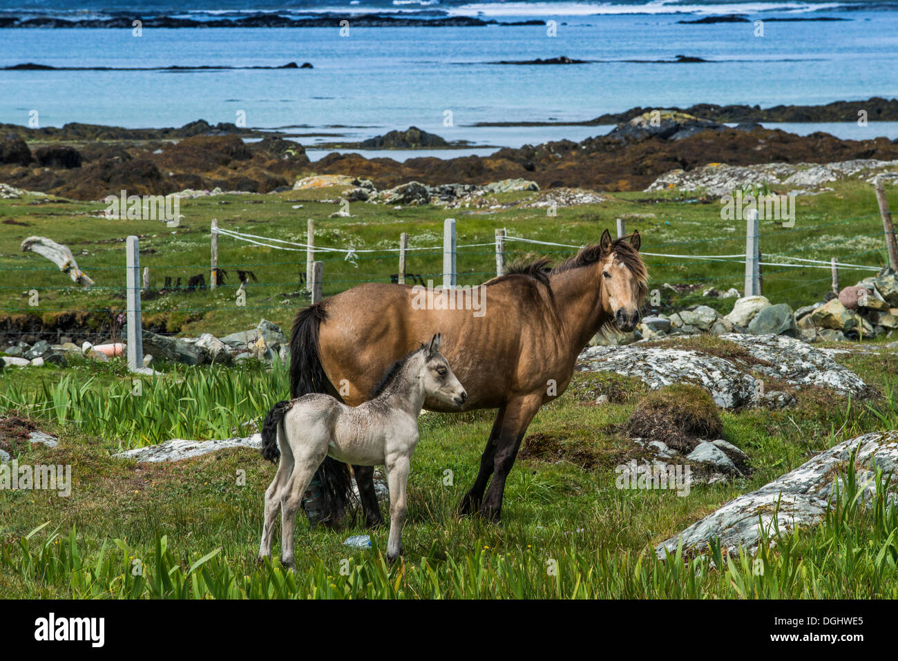 Mare with a foal, horses in a paddock on the coast, Connemara, Ireland, Europe - Stock Image