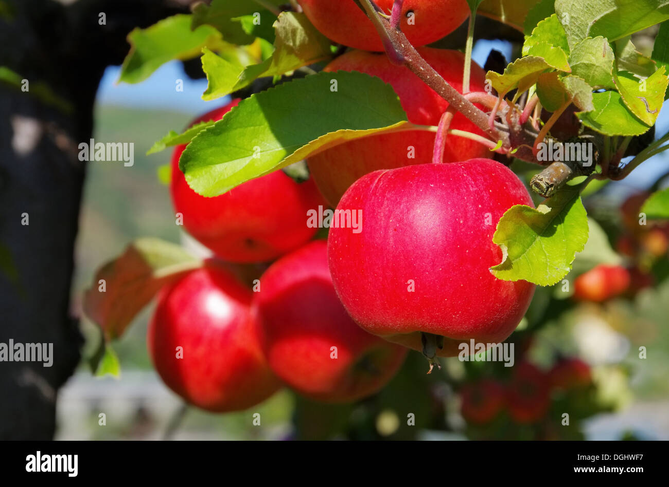 Apfel am Baum - apple on tree 151 - Stock Image
