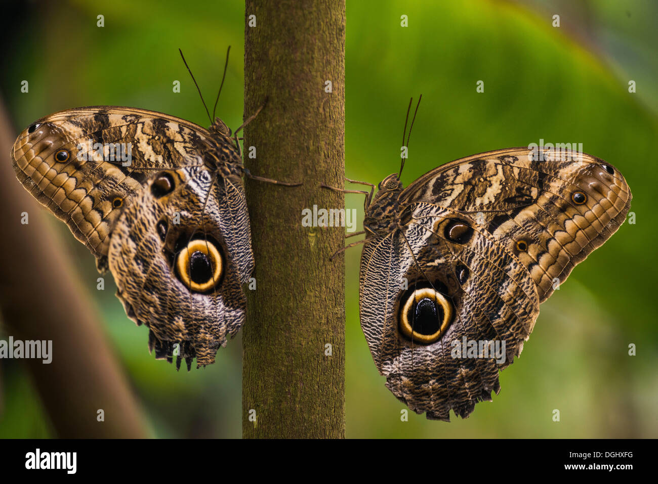 Two Forest Giant Owl butterflies (Caligo eurilochus), perched on a branch opposite each other, Manaus, Amazonas State, Brazil - Stock Image