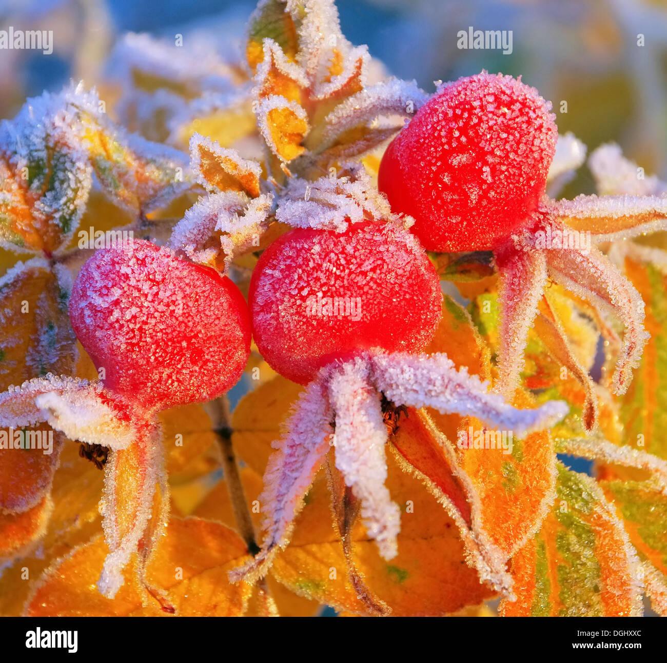 Hagebutte im Winter - hip in winter 08 - Stock Image