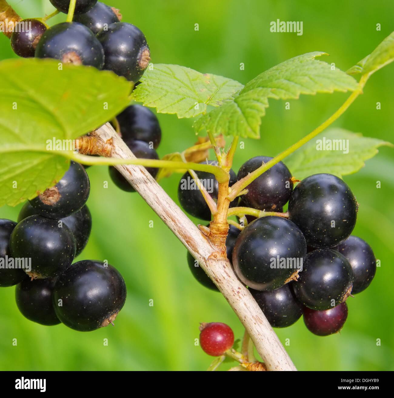 Johannisbeere schwarz - black currant 02 - Stock Image