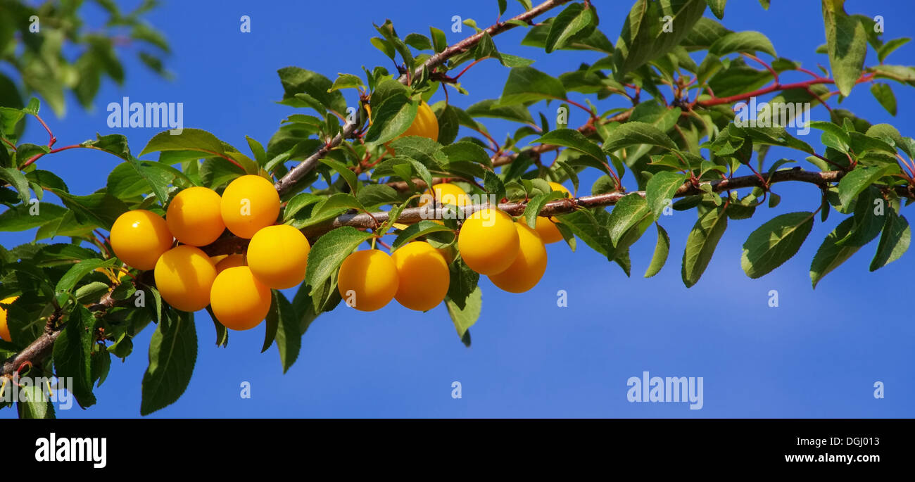 Mirabellen am Baum - mirabelle plums at the tree 06 - Stock Image