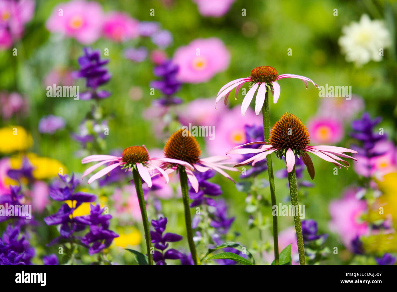 Echinacea or Coneflowers and other herbaceous perennials in the Botanic Garden in Oxford. - Stock Image
