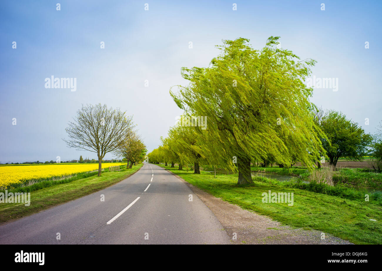 An avenue of weeping willows in the Fens. - Stock Image
