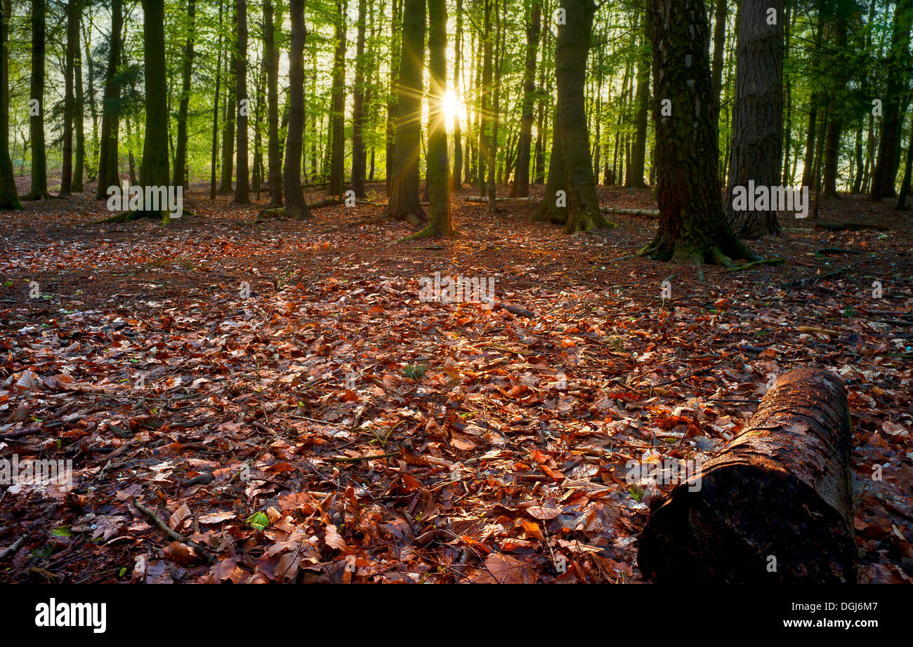 Dawn sunlight brings the woods alive at Beacon Hill in Leicestershire. - Stock Image