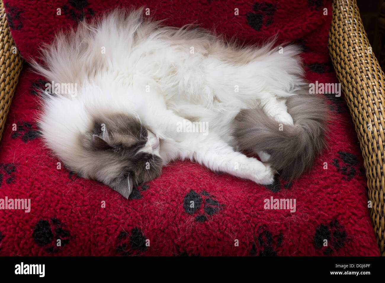 Adult male Ragdoll cat asleep on a red bed - Stock Image