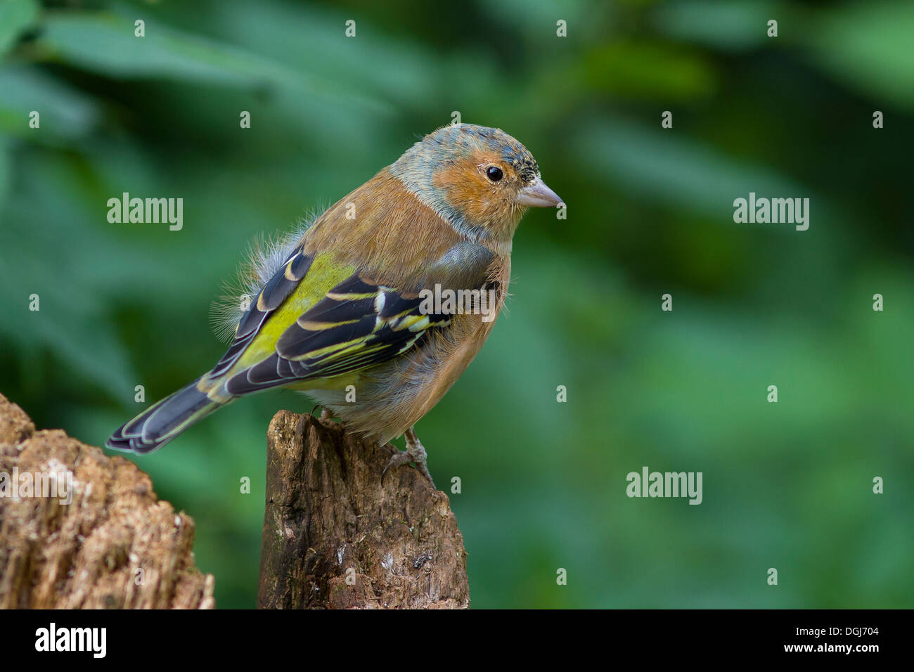 A juvenile Chaffinch on an old stump. - Stock Image