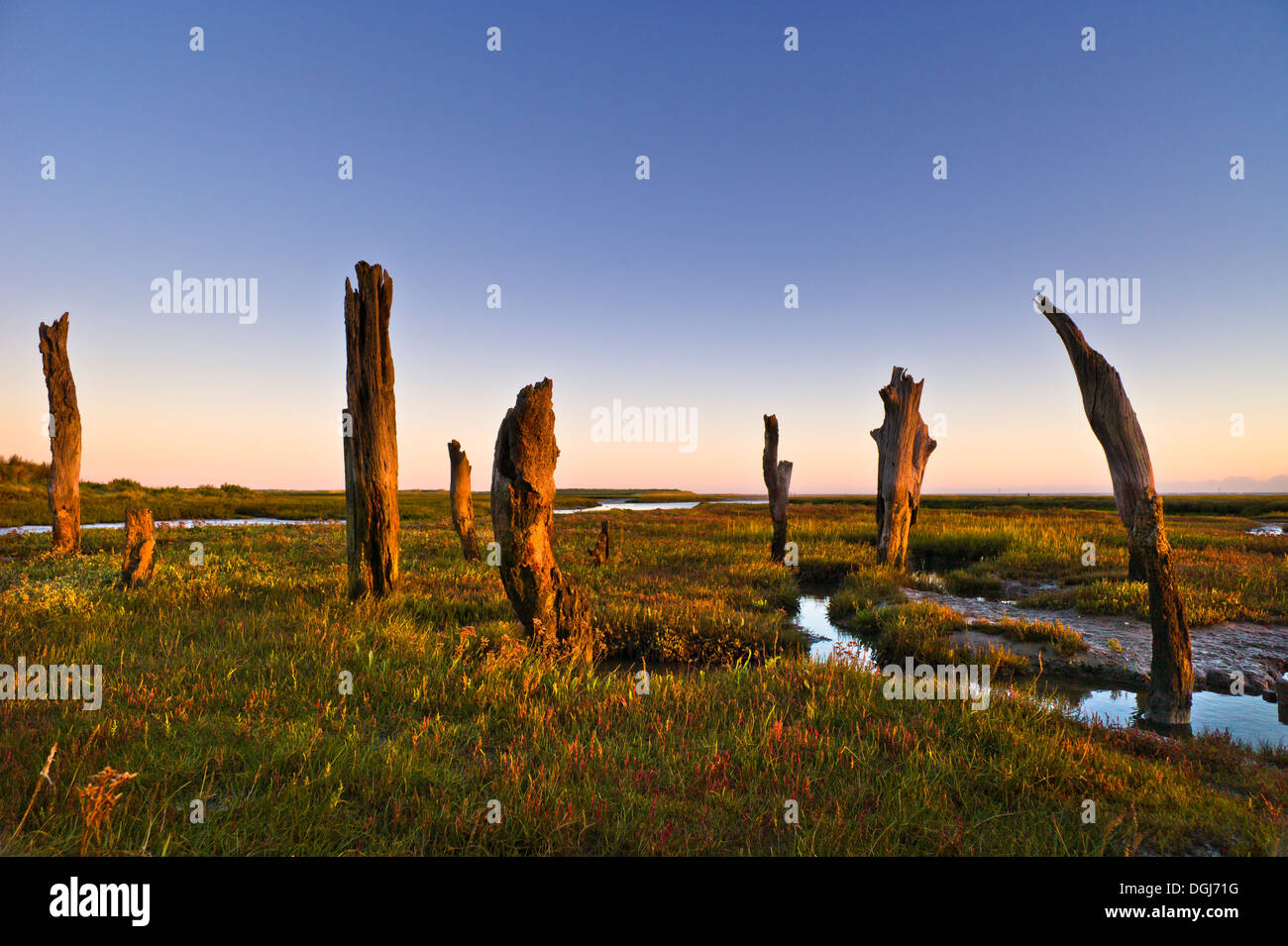 Thornham stumps on the North Norfolk coast at first light. - Stock Image