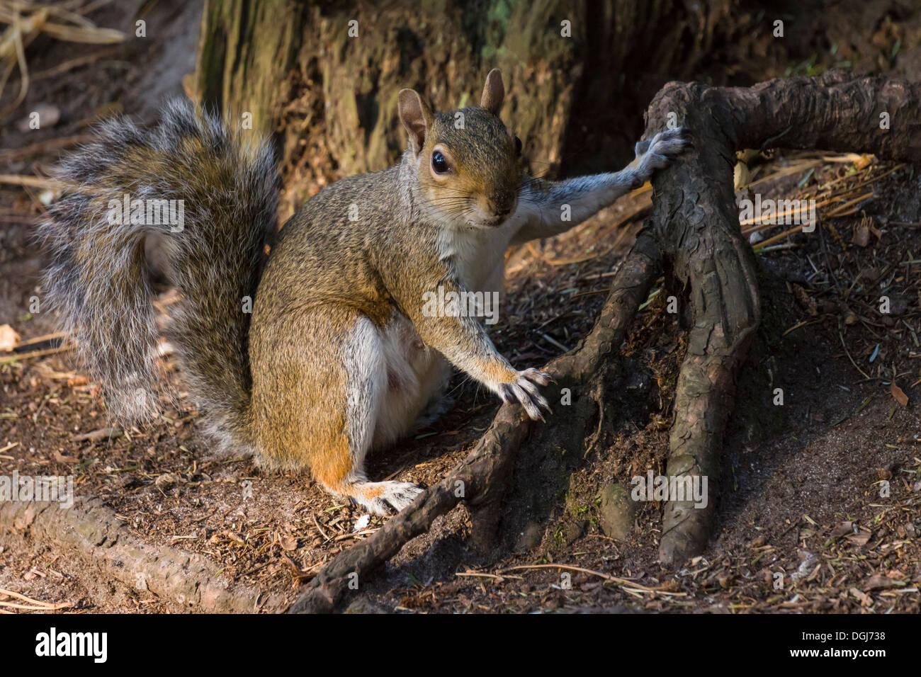 Grey Squirrel - Sciurus carolinensis, in the process of burying food amonst tree roots. - Stock Image