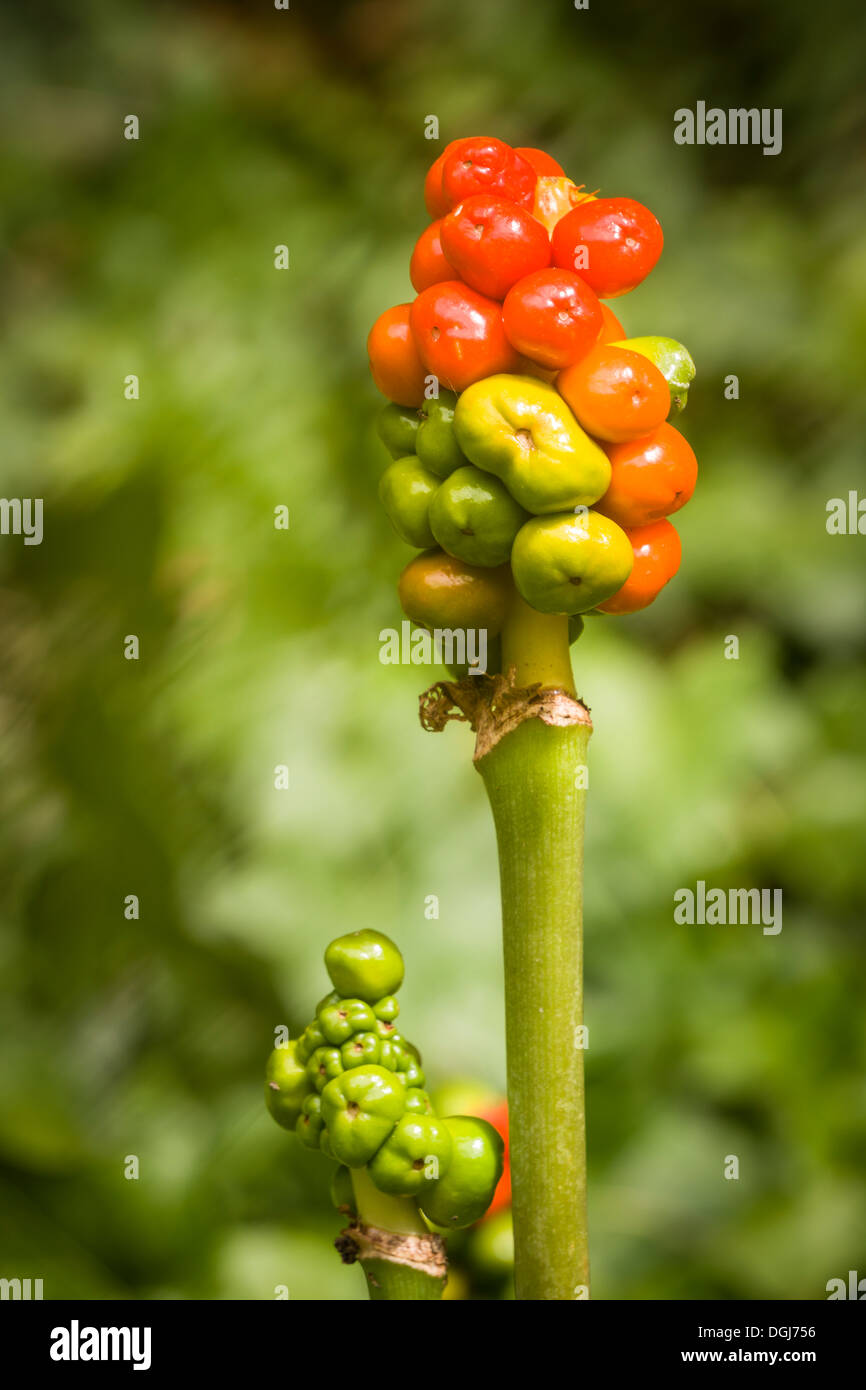 The fruits of Arum maculatum, better known as Cuckoopint or Lords and Ladies, glow in August sunshine. - Stock Image