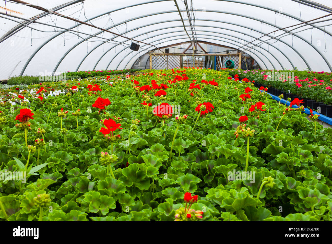 Inside a commercial nursery polytunnel growing geraniums and other plants. - Stock Image
