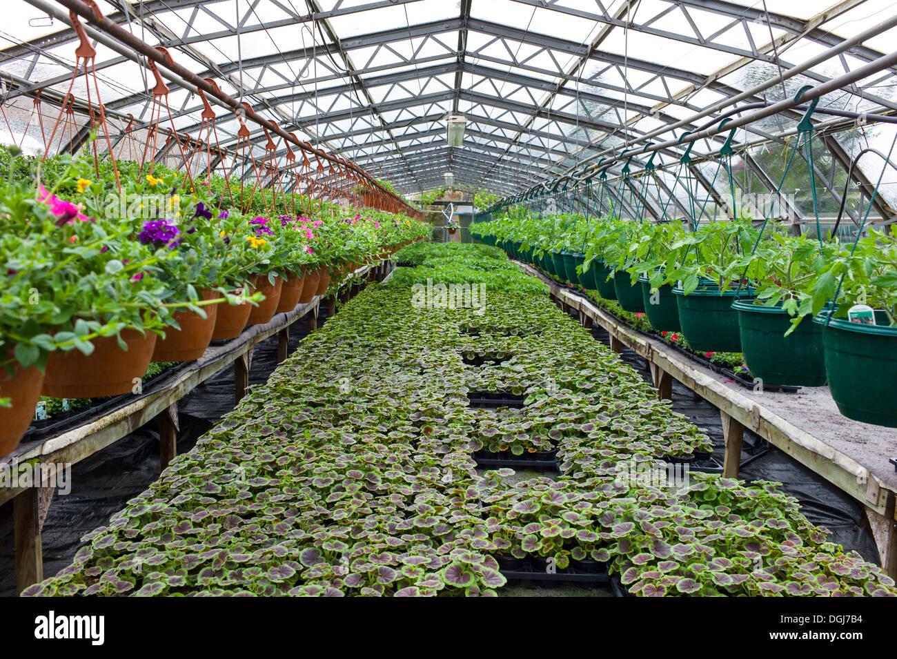 Inside a commercial nursery greenhouse growing geraniums and other plants. - Stock Image
