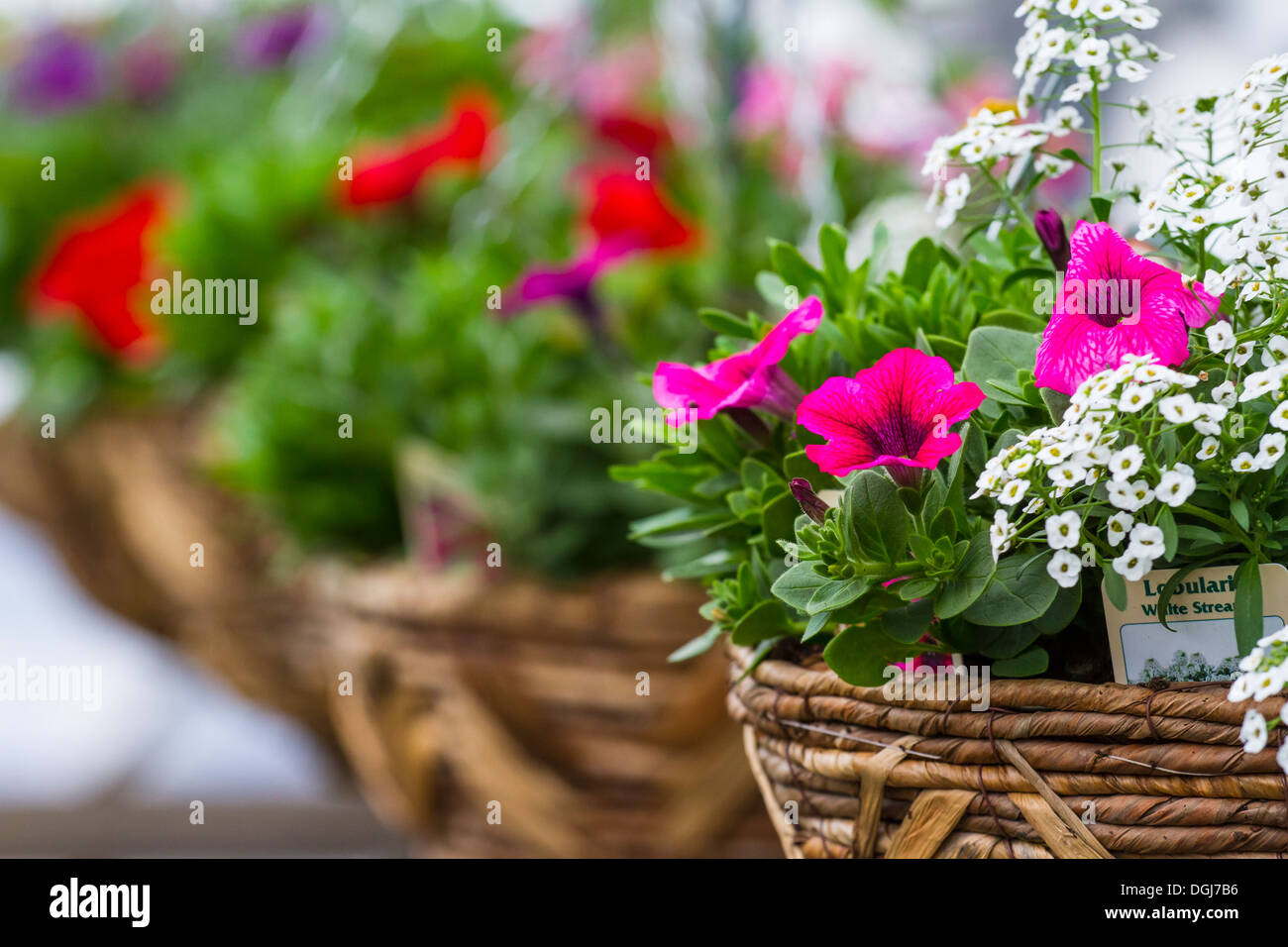 Hanging baskets being grown for sale in a garden centre. - Stock Image