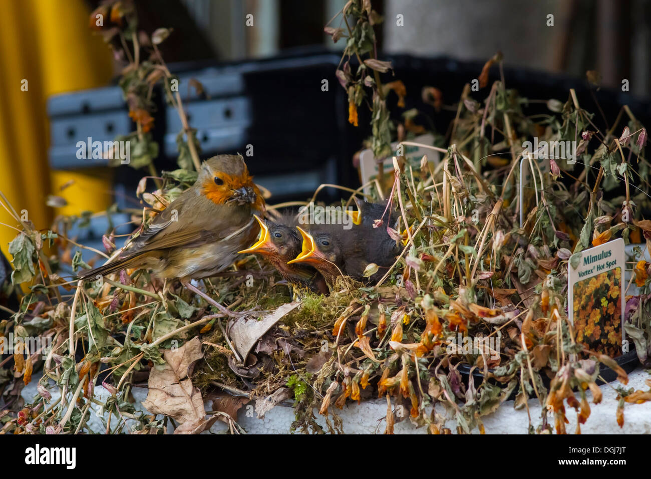 Robin feeding a nest of hungry young in a plant tray at a garden centre. - Stock Image