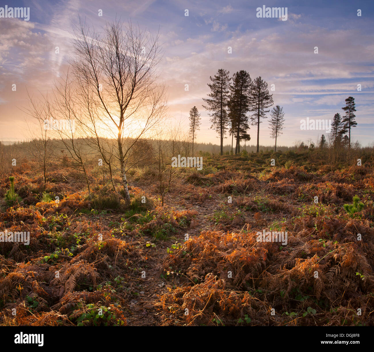 Daybreak over restored heathland. Stock Photo